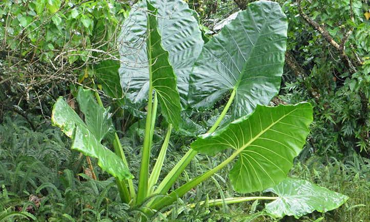 Single taro plant