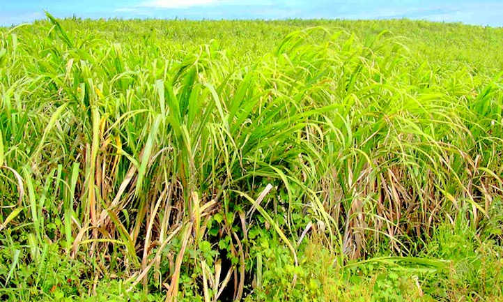 Sugar cane among the weeds