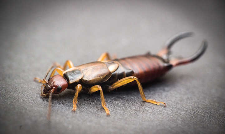 Earwig close up