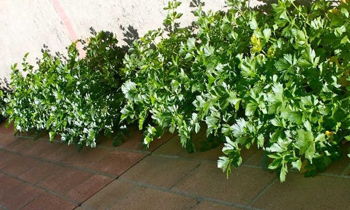 Celery foliage