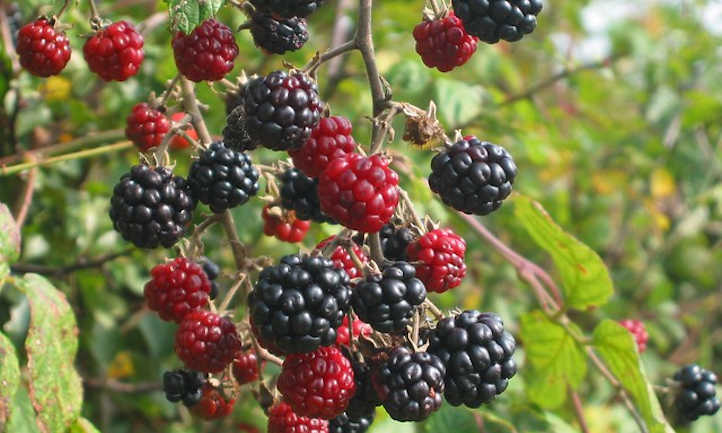 Cluster of blackberries ripening