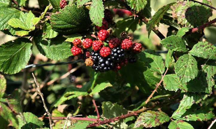 Ripe and almost ripe blackberries