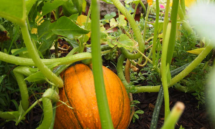 Pumpkin forming under vines