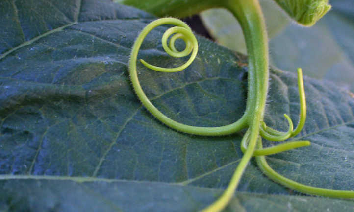 Pumpkin tendril