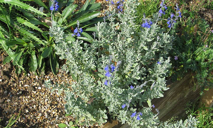 Germander sage in garden bed