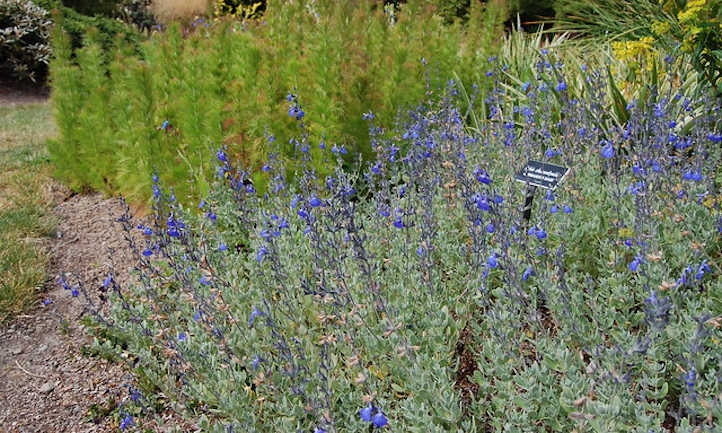 Salvia chamaedryoides patch