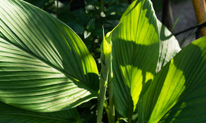 Turmeric leaves and stalk