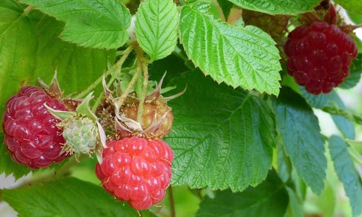 Raspberry Raised Bed