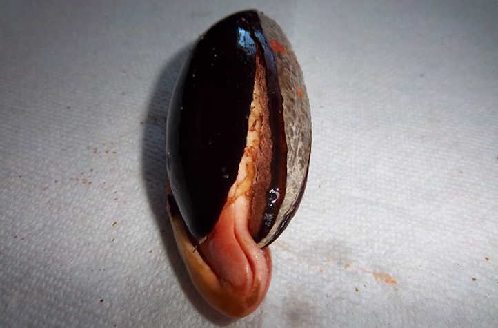 Mamey seed sprouting