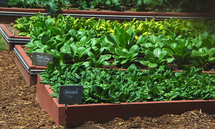 Bok choy and spinach beds