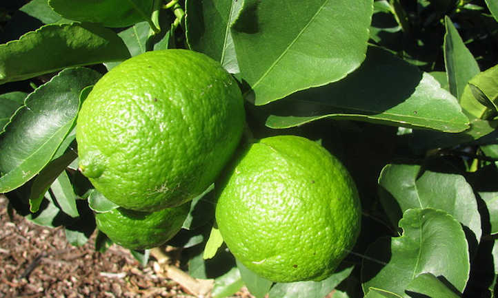 Bearss Persian lime