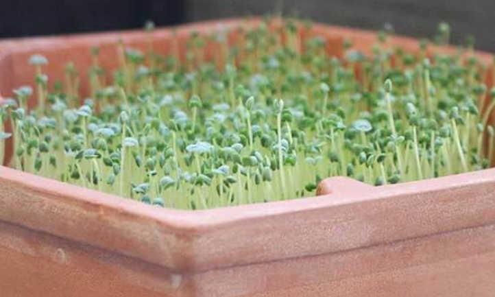 Half-grown chia microgreens