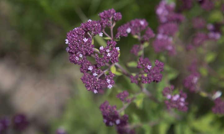 Marjoram in flower