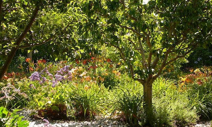 Pear tree in garden