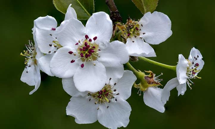 Pyrus pyrifolia flowers