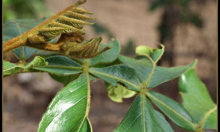 Guama foliage