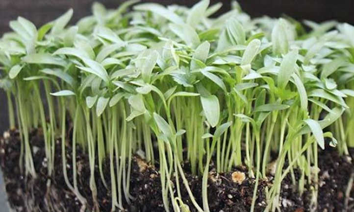 Slow Bolt cilantro microgreens