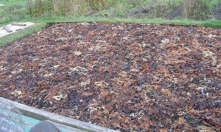 Seaweed as mulch