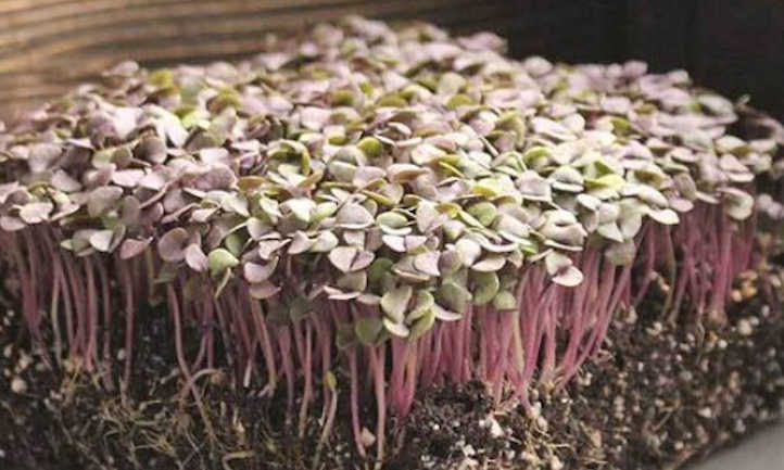 Red Rubin basil microgreens