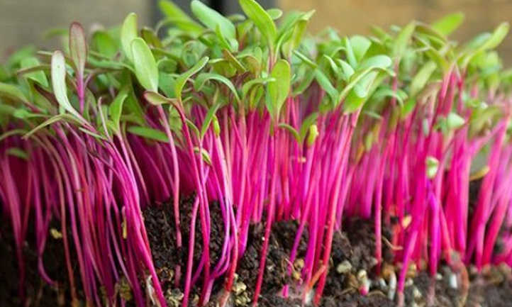 Bulls Blood Beet Microgreens