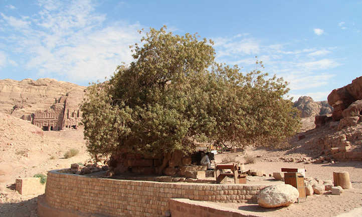 Large pistachio tree