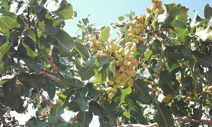 Pistachios on tree