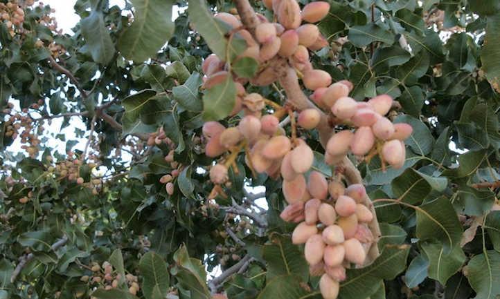 Pistachios ripening