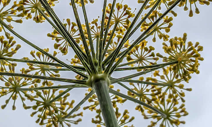 Dill flower umbel