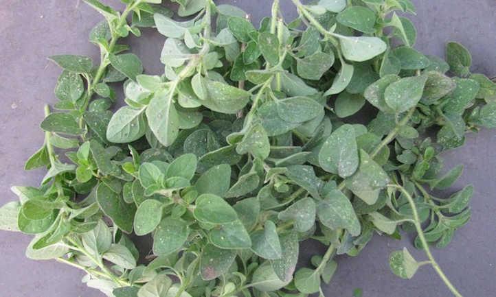 How to harvest oregano
