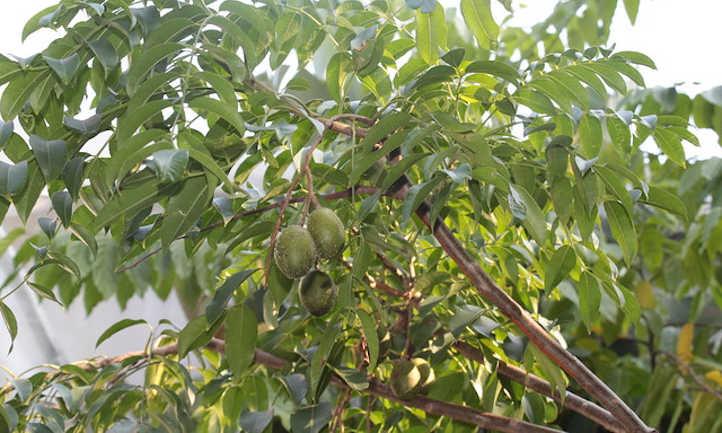 Canopy of spondias dulcis