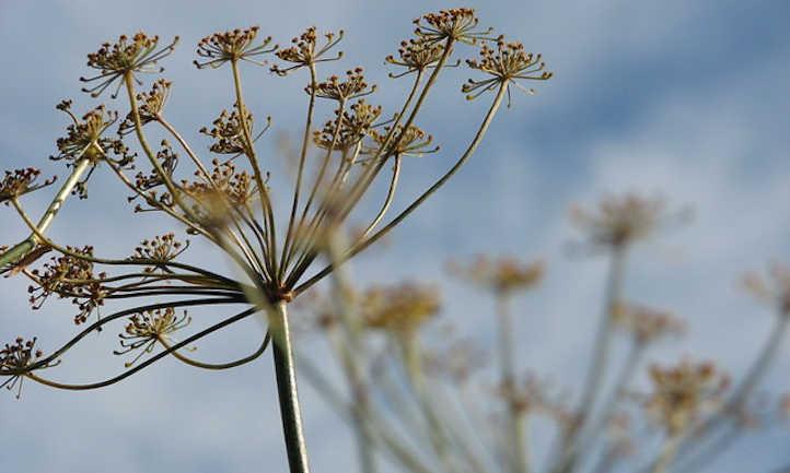 Dill flower heads