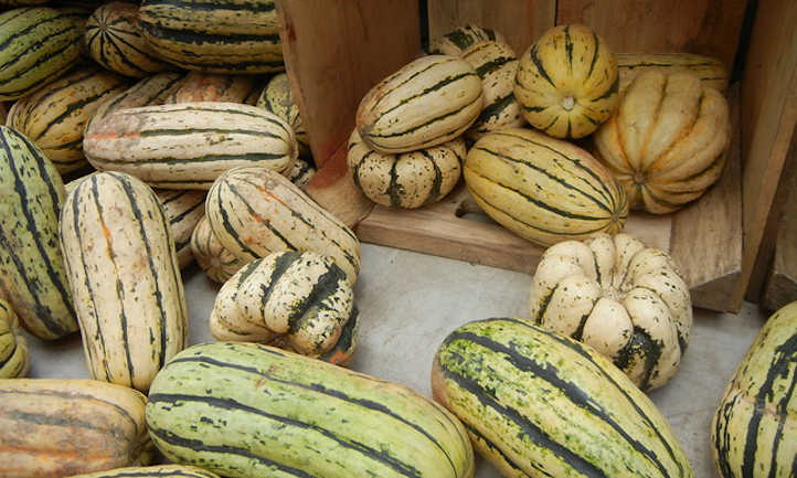 Growing delicata squash