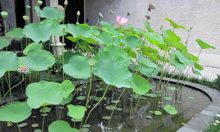 Sacred lotus foliage