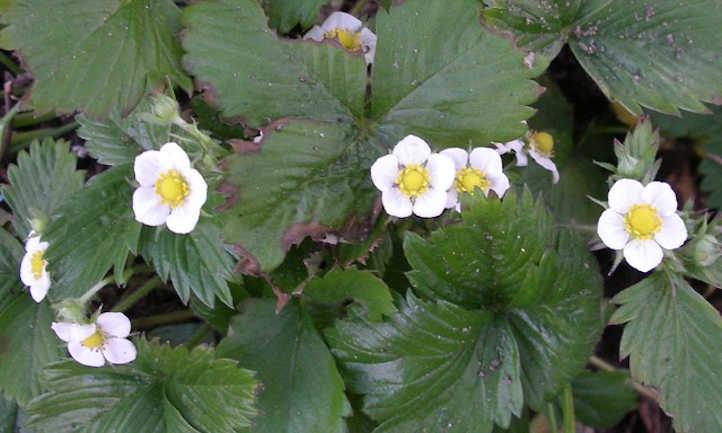 Alpine strawberry flowers