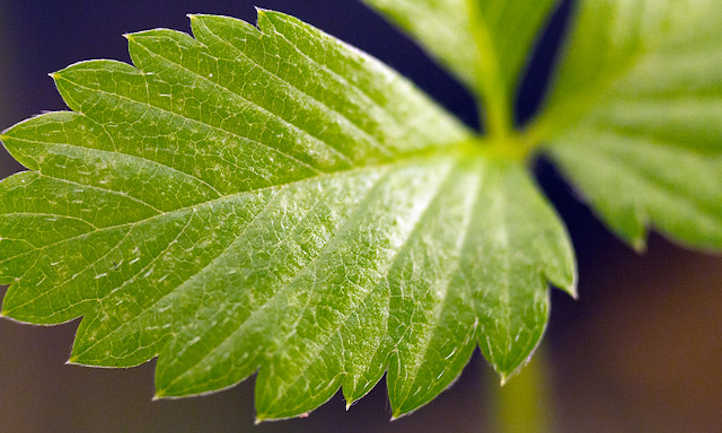 Alpine strawberry leaf