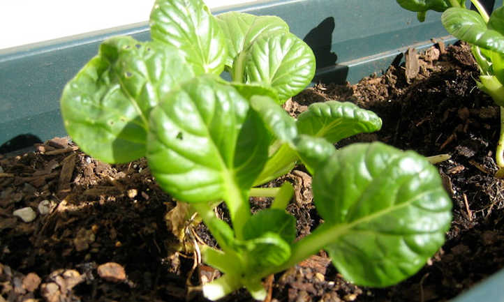 Growing tatsoi