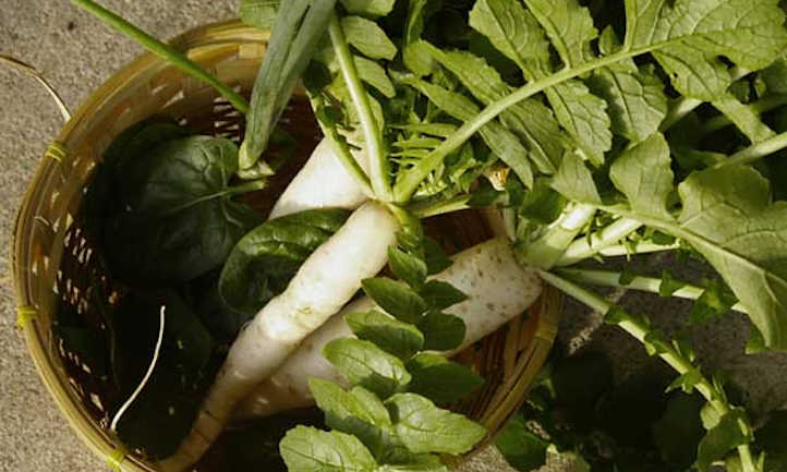 Growing daikon radish