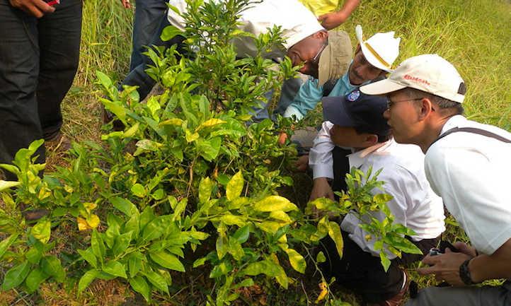 Citrus greening disease on leaves