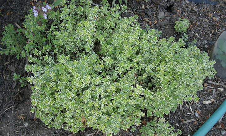 Large lemon thyme patch