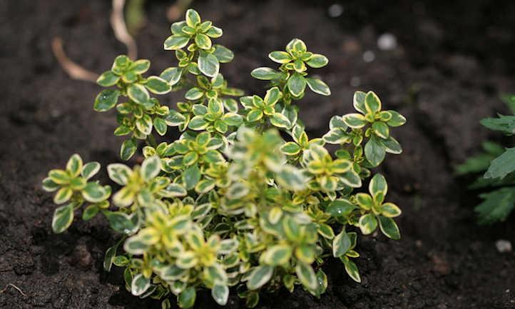 Young lemon thyme plant