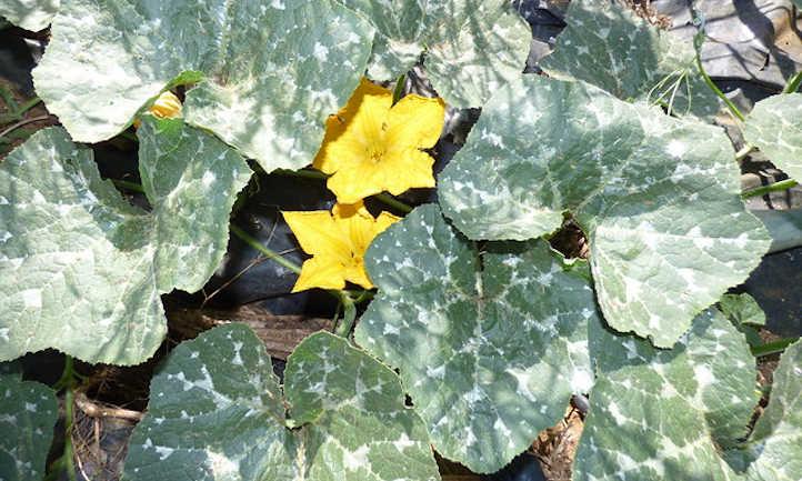Powdery mildew on squash leaves