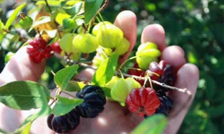 Ripe and unripe star cherries